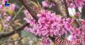 新罗黄坑天池:梅花樱花盛开