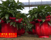 """武平东留:红红火火""""富贵籽""""俏销市场"""