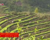 武平:春茶开采 满园飘香