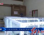 上杭县蓝溪镇:黑豚特色养殖引领脱贫攻坚