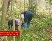 长汀大力发展林下兰花产业