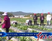 武平十方镇:千亩蚕豆锄活忙 扶贫产业助增收