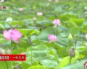 连城新泉:夏荷竞相绽放扮靓乡村振兴路
