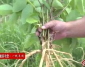 连城赖源下村村:发展特色中草药种植 助力贫困户稳固脱贫