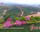 漳平永福樱花茶园:樱花烂漫引客来 安全有序赏美景