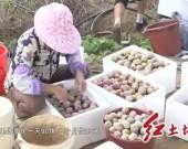 连城姑田城兜村:芙蓉李产业增收富民 助力乡村振兴