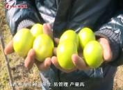"""""""青枣""""成为漳平农民致富""""金果子"""""""