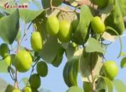"""漳平:""""青枣""""成致富""""金果子""""助农增收"""
