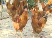 林下生态放养象洞鸡助农致富