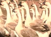长汀濯田:探索美西鹅产业脱贫模式