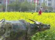 上杭才溪:油菜花次第绽放 引游客采撷春光