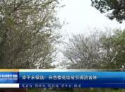 漳平永福镇:白色樱花绽放引得游客来