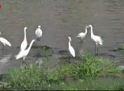 永定:水清岸绿引鹭来 群鹭翩跹戏春江