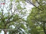 """龙岩城区:行道树""""瘦身变装"""" 扮靓城市树新风"""
