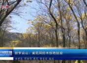 新罗岩山:黄花风铃木惊艳绽放