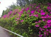 梅花山看国虎园杜鹃花开