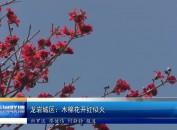 龙岩城区:木棉花开红似火