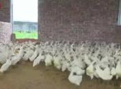 李安洪:倡导连城白鸭生态养殖  带动村民共同致富