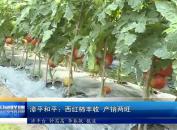 漳平和平:西红柿丰收 产销两旺