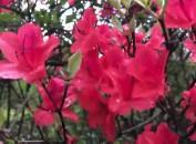武平观狮山:杜鹃盛放漫山红