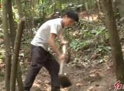 打工仔返乡创业 林下种植金线莲