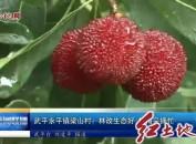 武平永平镇梁山村:林改生态好 杨梅采摘忙