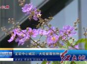 龙岩中心城区:大花紫薇惊艳盛开