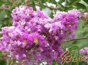 汀江河畔紫薇花盛开