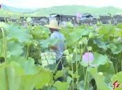 漳平双洋:莲花出水竞脱贫