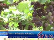 漳平:葡萄香满园采摘正红火