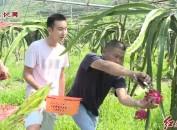 漳平南洋:生态红心火龙果助农增收致富