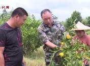 新罗大池:3000多亩特早熟蜜桔喜获丰收