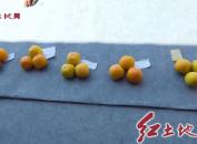 永定高头举办第二届柿子采摘节