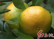 连城赖源:200亩高山蜜橘喜获丰收 走俏市场
