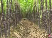 新罗苏坂:大力发展甘蔗产业助力乡村振兴