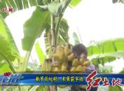 新罗肖坑村:米蕉获丰收扶贫见成效