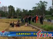 龙津湖畔割稻忙  亲近自然收获多