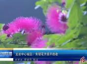 龙岩中心城区:朱缨花开美不胜收