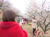 福建省第二届梅花节在上杭开幕