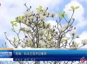 连城:白玉兰花开迎春来