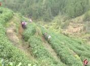 武平:春茶提早上市 抢占绿茶市场