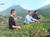 漳平:茶乡茶农春管忙