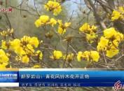 新羅巖山:黃花風鈴木花開正艷