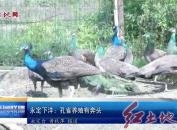 永定下洋:孔雀养殖有奔头