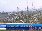 上杭临城九洲村:梨花盛开春满园