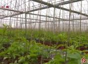 武平:育好苗? 種好果? 重點打造百香果產業