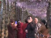 連城:300米長廊紫藤花迎春開放惹人醉