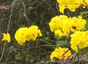 滿目春光  黃花爭艷