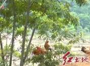 """永定抚市:林下""""跑步鸡""""助力矿山复绿"""
