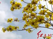 新羅區小池鎮璜溪村:風鈴木黃花正艷??踏春賞花正當時
